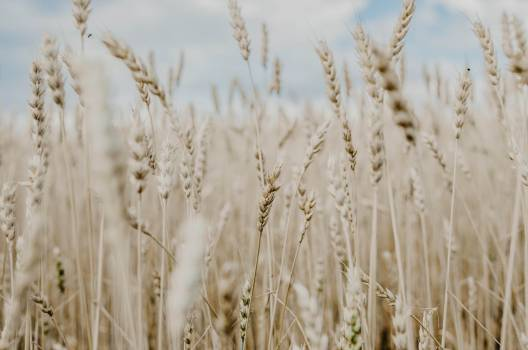 Wheat Cereal Field #315572