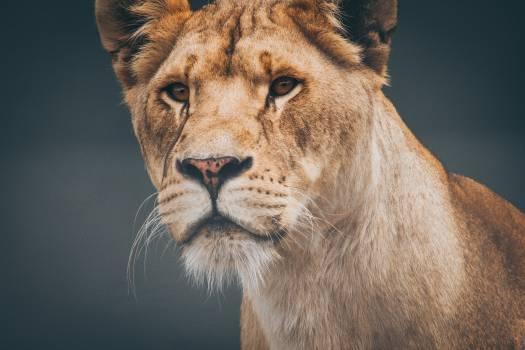 Predator Lion Feline Free Photo