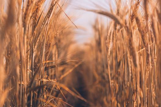 Wheat Cereal Field #315975