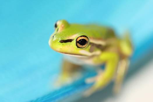 Tree frog Amphibian Frog #317151