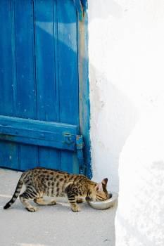 Feline Leopard Cat #317255