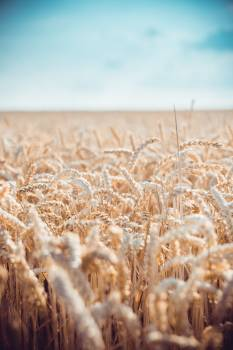Wheat Cereal Field #317387