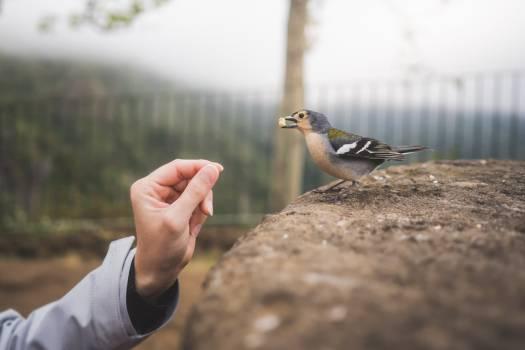 Brambling Finch Bird Free Photo