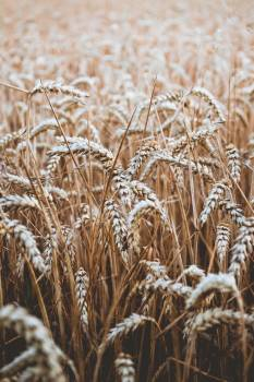 Wheat Cereal Field #317730