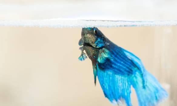 Blue Greenish beta fish #31843