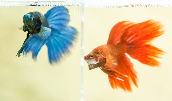 Blue and Red Beta Fish #31844