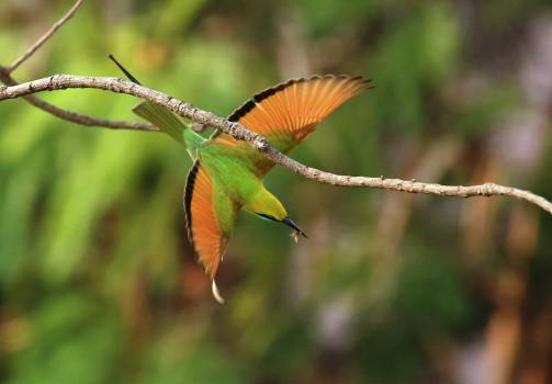 Bee-eater Free Photo
