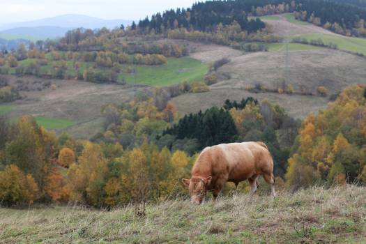 Cow on pasture Free Photo