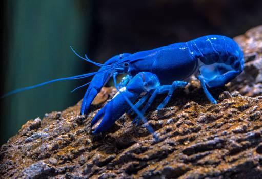 Crayfish Crustacean Arthropod #319403