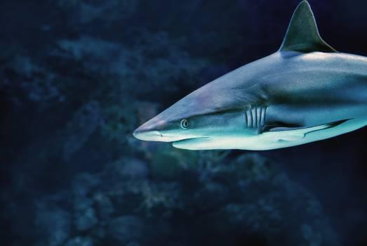 Tiger shark Shark Fish Free Photo