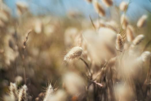 Wheat Cereal Dandelion #319485