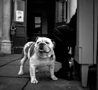 Pug Dog Domestic animal #319943