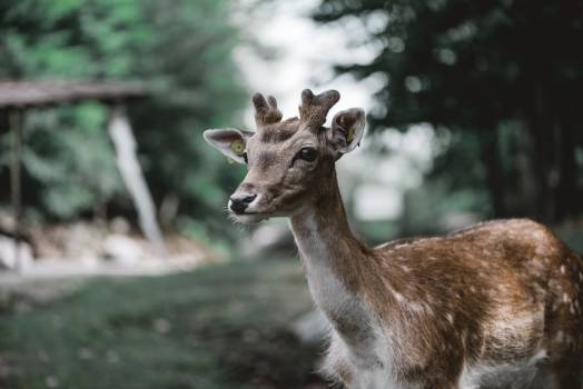 Buck Mammal Deer Free Photo