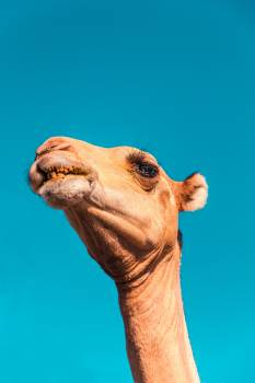 Mammal Giraffe Camel Free Photo