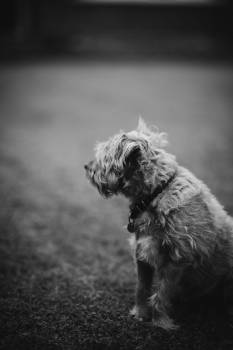 Terrier Dog Canine #321025