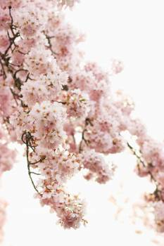Pink Tree Pollen Free Photo