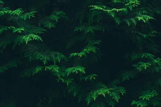 Green Pine Tree Leaves #32166