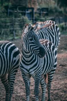 Zebra Equine Ungulate Free Photo