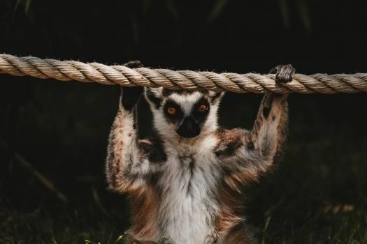 Primate Lemur Monkey #322590