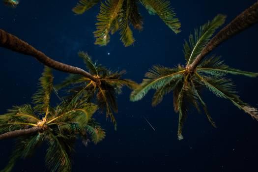 Coconut Tree Palm Free Photo