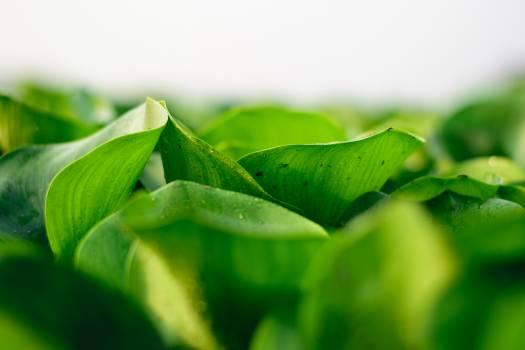 Tea Plant Leaf Free Photo
