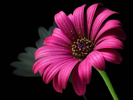 Pink Petal Flower #32327