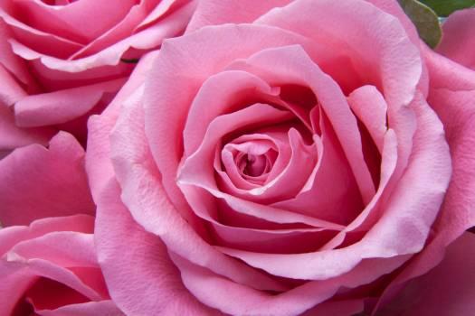 Pink Rose #32342