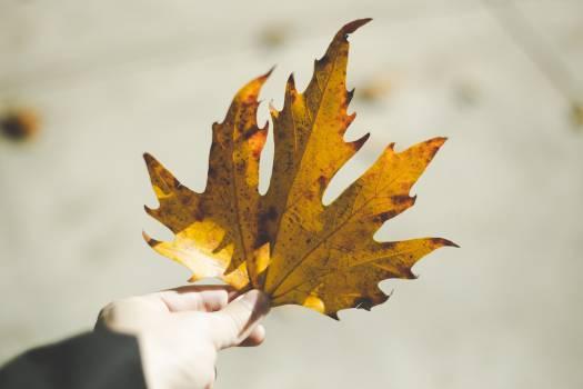 Maple Autumn Petal #323431