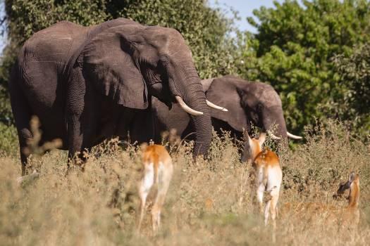 Elephant Mammal Calf Free Photo
