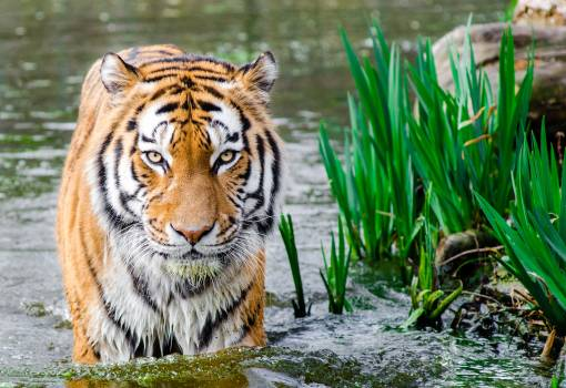 Bengal Tiger Half Soak Body on Water during Daytime #32375