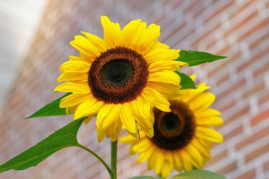 Yellow Sunflower Macro Photographyt #32378