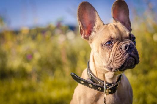 Bulldog Dog Canine Free Photo