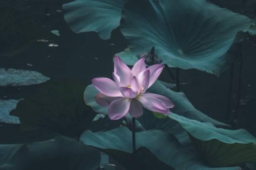 Aquatic Lotus Plant #324195