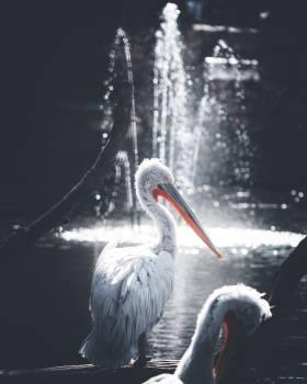 Pelican Seabird Bird Free Photo