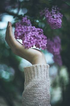 Lilac Butterfly-bush Shrub Free Photo