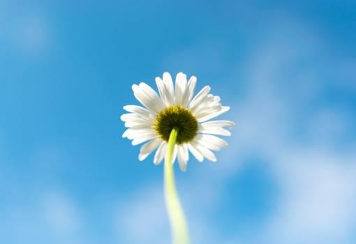 Daisy Flower Pollen Free Photo