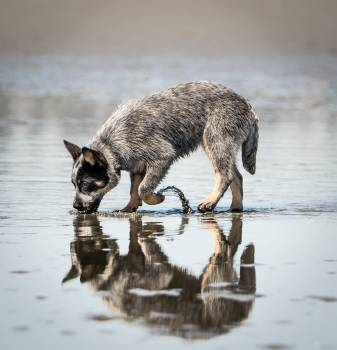 Coyote Wolf Canine #325138