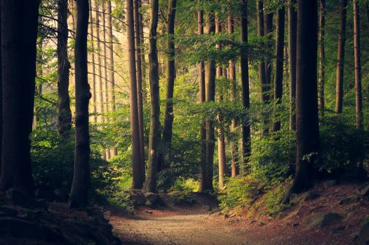 Path Through Forest Trees Free Photo