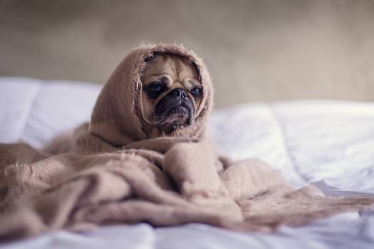 Tan Pug Covered With Brown Blanket #32556