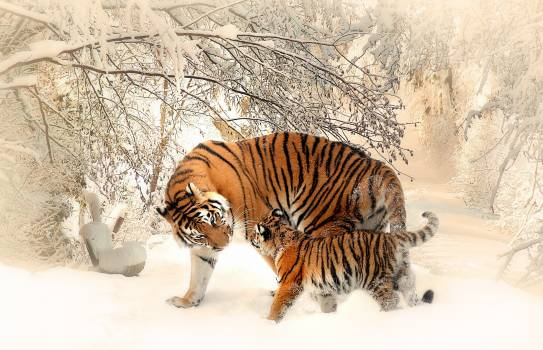 Adult and Cub Tiger on Snowfield Near Bare Trees #326543