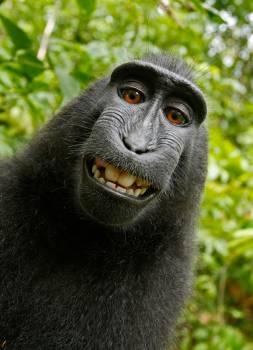 Black Chimpanzee Smiling #326939