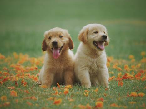 Two Yellow Labrador Retriever Puppies #326984
