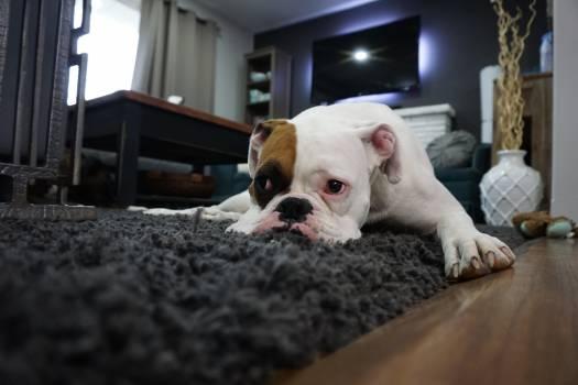 White and Tan English Bulldog Lying on Black Rug #32709