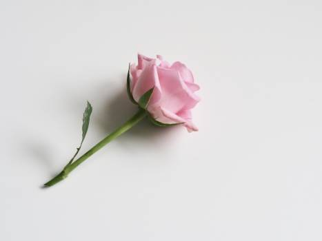 Photo of Pink Rose on White Surface #327527