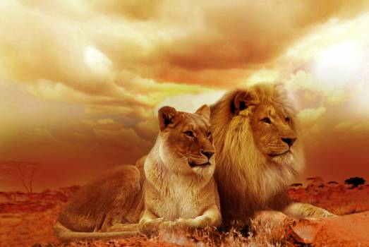 Lion and Lioness Under White Sky during Sunset #327754