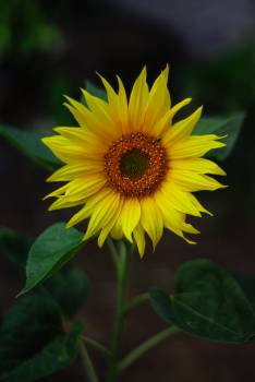 Selective Focus Photography Of Yellow Sunflower #328287