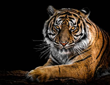 Close-Up Photography of Tiger #328324