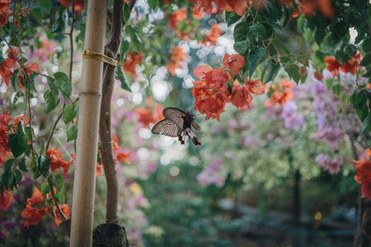 Black Butterfly Preaching on Peach Flower Free Photo