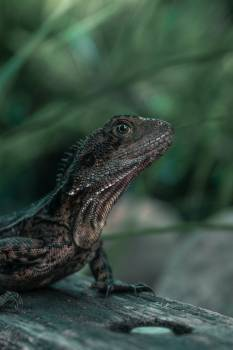 Focus Photography Of Brown Lizard Free Photo