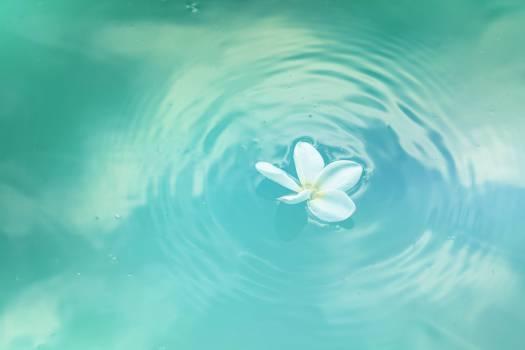 White Plumeria Flower on Water Free Photo